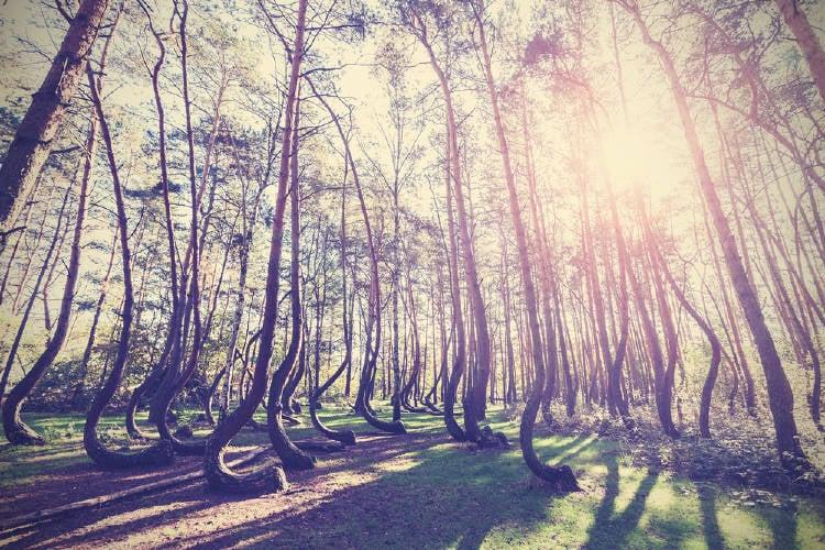 El bosque torcido de Polonia