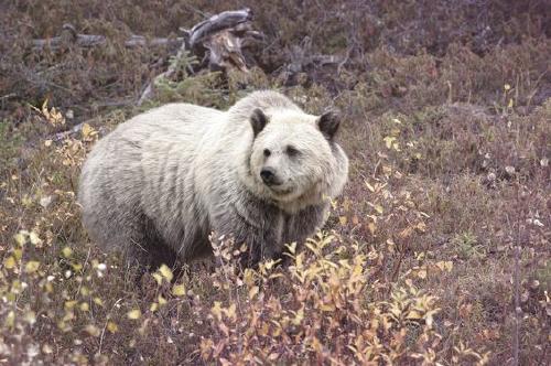 Grolar: el híbrido de oso polar y grizzli que ha surgido por el cambio climático
