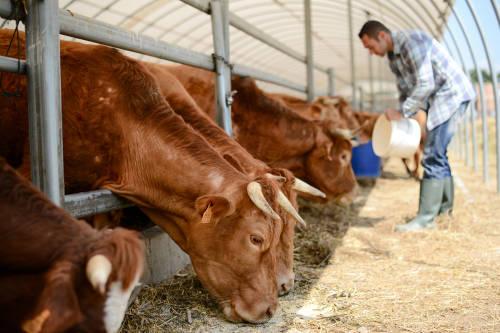 Las vacas cumplen un rol fundamental para la vida en el planeta