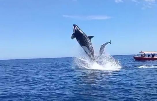 El video viral que capta choque en el aire entre una orca y un delfín