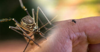 El mosquito negro que podría quitarte la vida con su picadura