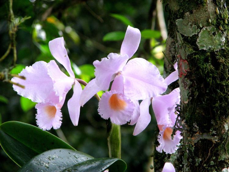 Orquídea colombiana de color rosa pálido