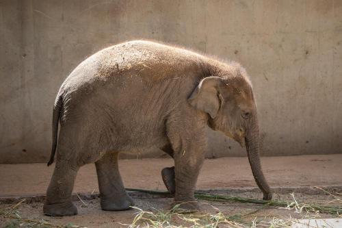 Elefante que pasó 35 años en cautiverio será finalmente puesto en libertad