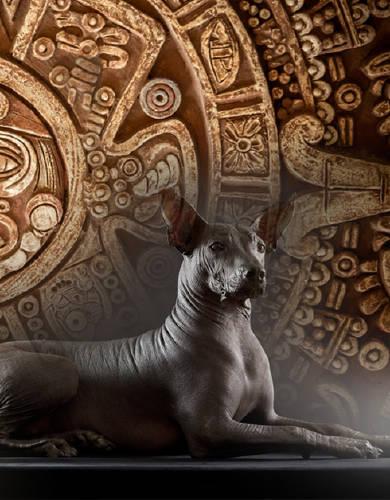 Xoloitzcuintle, el misterioso perro de 7 mil años de antiguedad