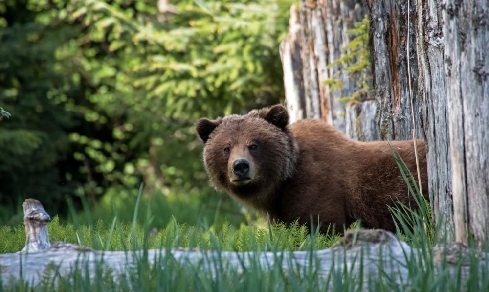 A los cazadores también se les permitiría cazar osos negros con perros, matar lobos y cachorros en sus guaridas