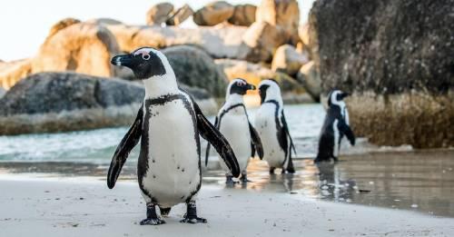 La naturaleza lo sabe todo: mira lo que hacen los pingüinos, ¡y aprende!