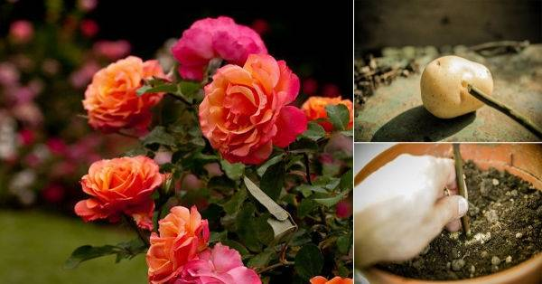 Cómo cultivar rosales a partir de esquejes con una patata