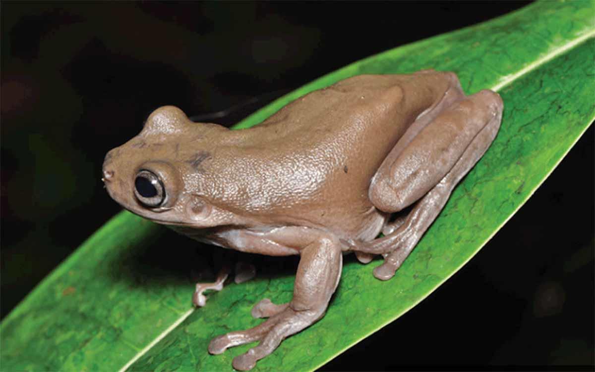 Descubren una simpática 'rana de chocolate' en una selva tropical