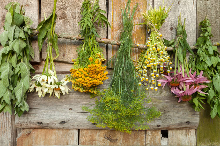 secado de hierbas medicinales
