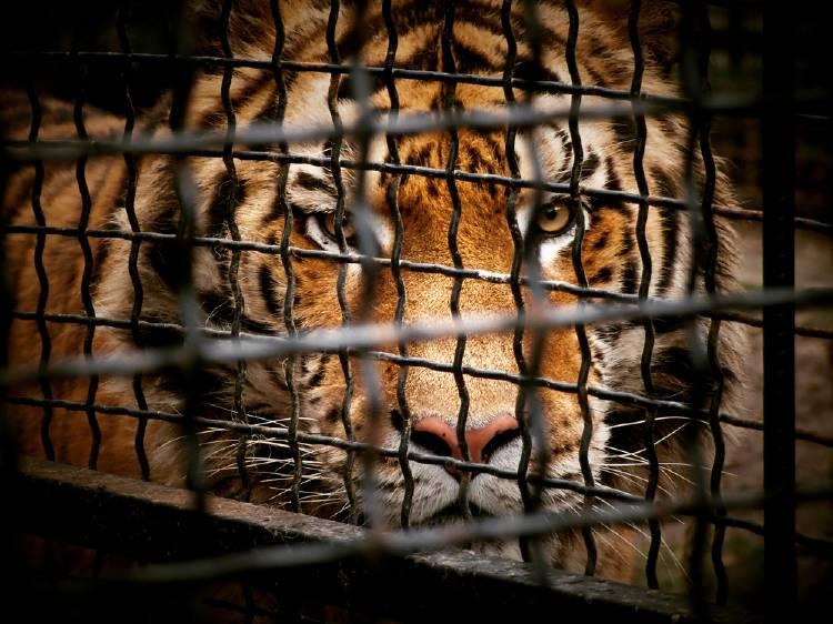 tigre jaula crueldad animal