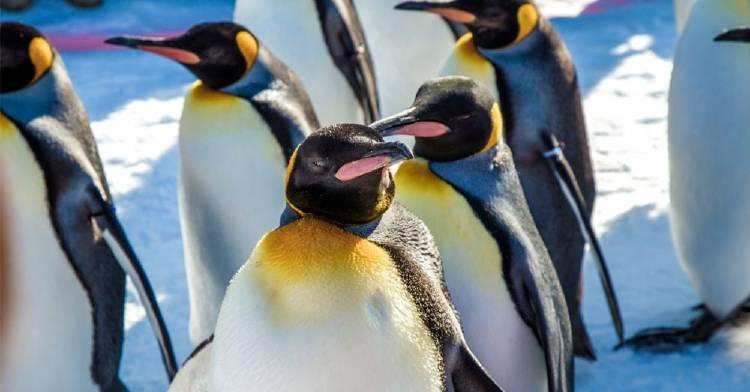Éstos son los pingüinos más increíbles de la Antártida y tú puedes salvarlos