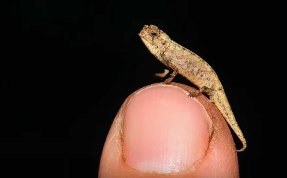 """Descubren al """"nanocamaleón"""", hasta ahora el reptil más pequeño del mundo"""