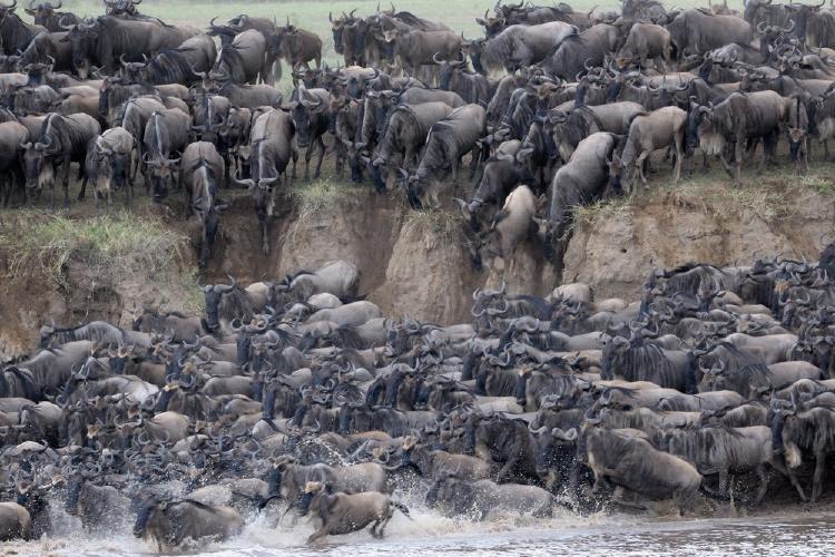 Ñus cruzando un rio en la gran migracion del Serengeti
