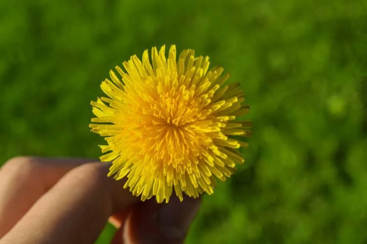 Una persona sostiene una flor de diente de león
