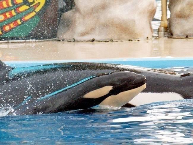 La triste vida de la última orca que murió en Seaworld