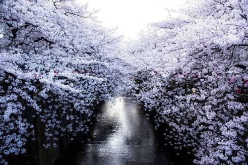 15 fotos que muestran como la floración de los cerezos llena de magia Japón
