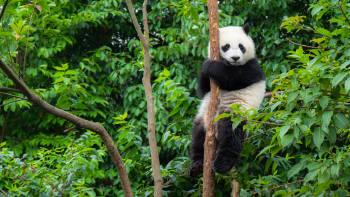 Oso panda trepado a un árbol