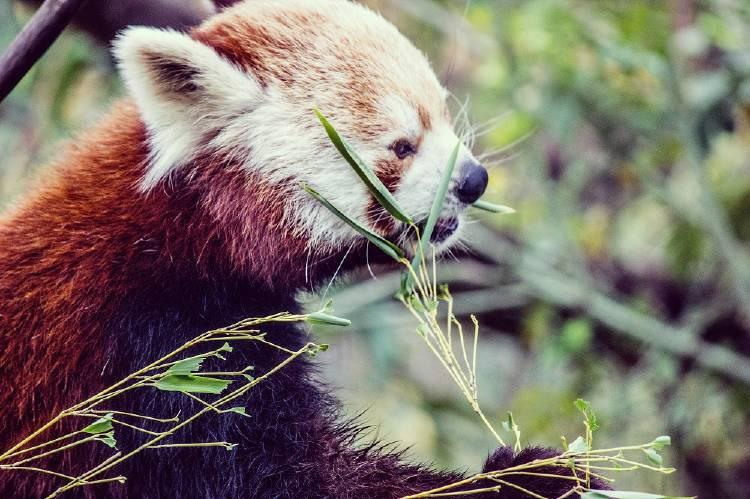La deforestación amenaza al panda rojo