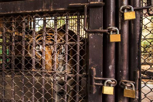 5 tigres fueron rescatados en Polonia y llevados a un refugio en España