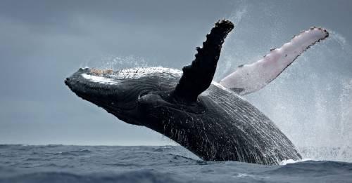 Japón reanudará la caza de ballenas y su decisión apena al mundo