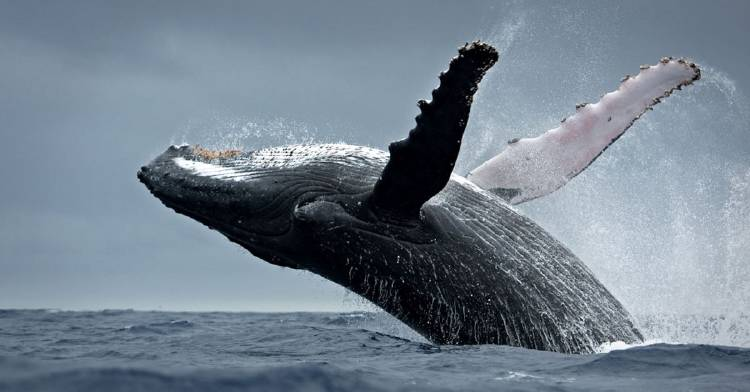 japon-reanudara-la-caza-de-ballenas
