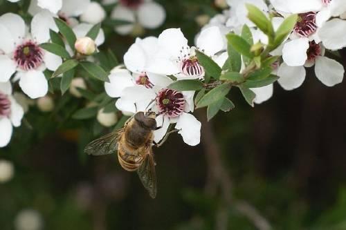 Lo que nadie te dice de la famosa miel de Manuka