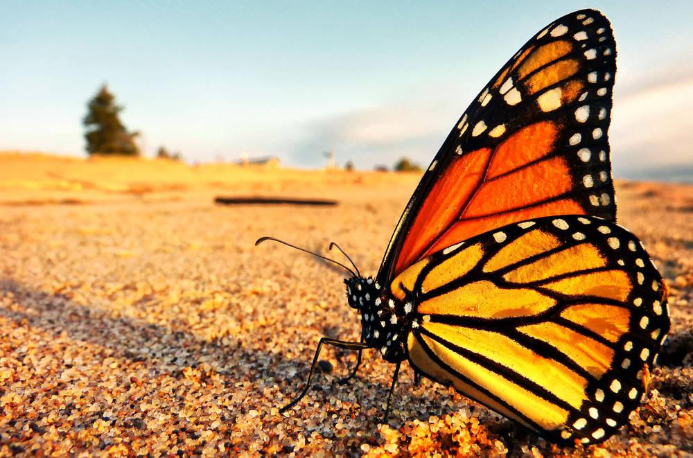 La crisis climática y los pesticidas están acabando con las mariposas monarca