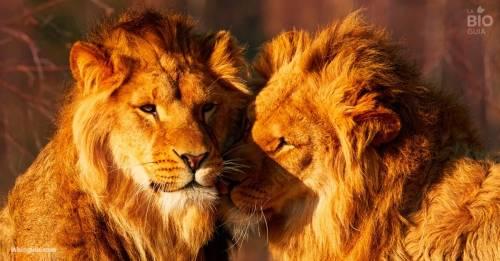"""La """"historia de amor"""" entre dos leones que demuestra que la homosexualidad es .."""