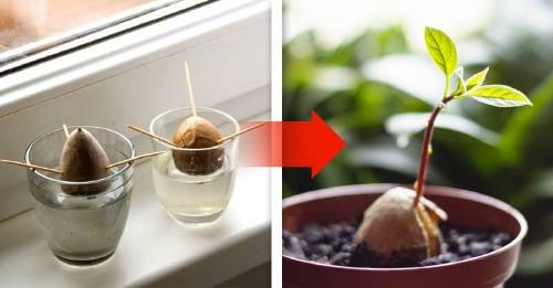 Cómo plantar un árbol de palta o aguacate
