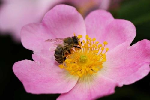 ¿Sabías que las flores al escuchar a las abejas se hacen más dulces?