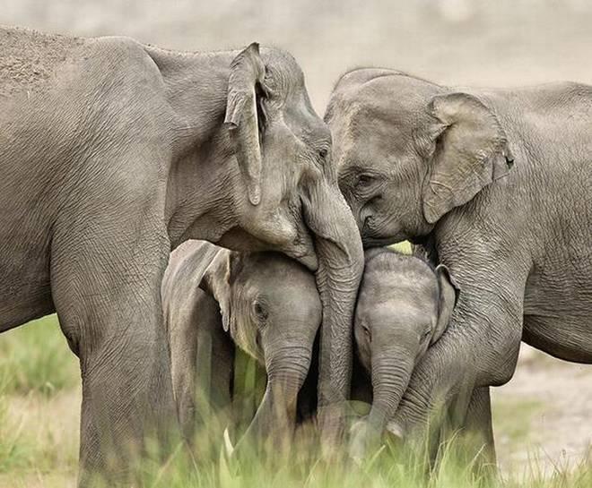 Empatía de los animales: elefantes lloran la muerte de su líder en un velatorio