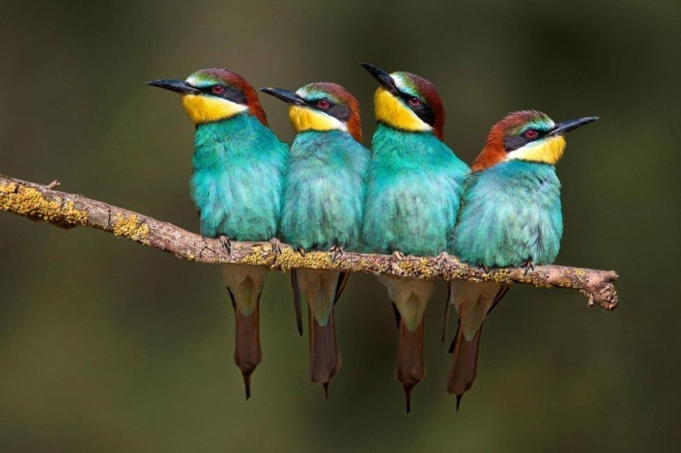 Los abejarucos miden entre 25 y 29cm de largo, pesa entre 50 y 70 gr.