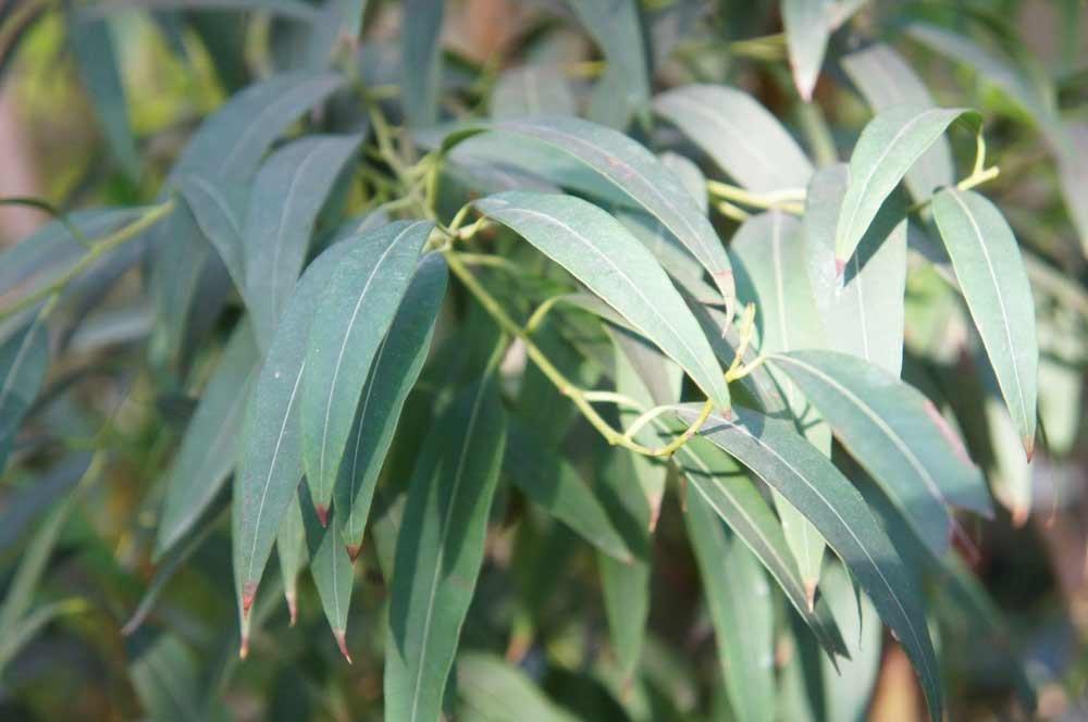 plantas medicinales para tratar la prostata