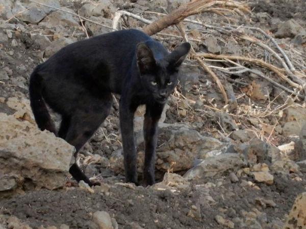 Melanistic-serval