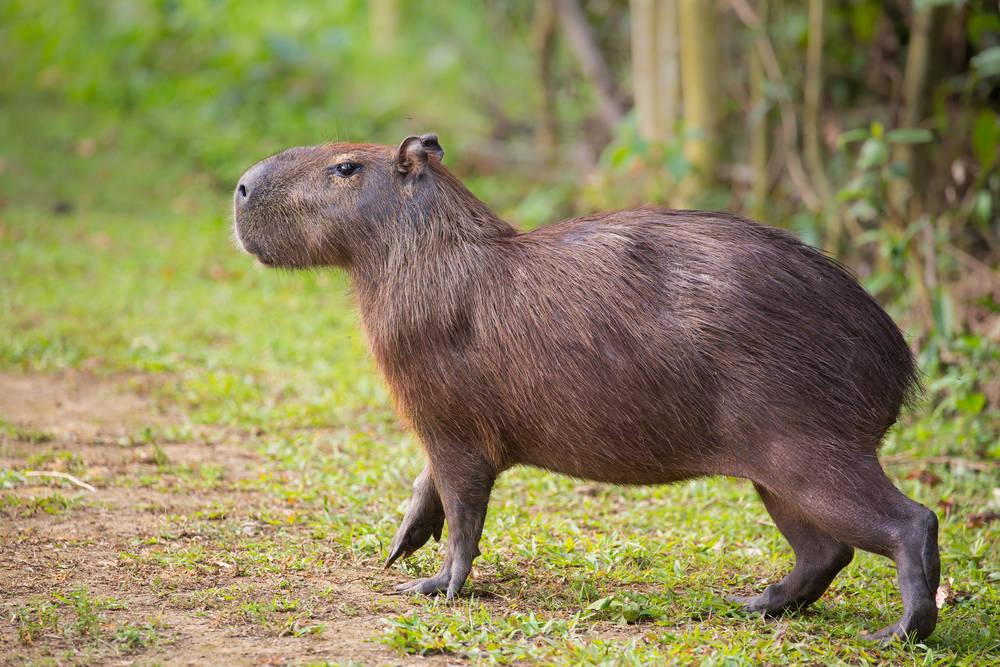 El carpincho, el roedor con más seguidores en Twitter