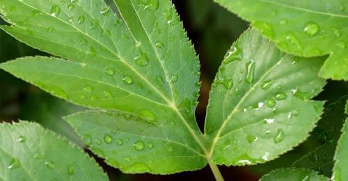 Ashitaba: la planta japonesa que favorece la regeneración celular