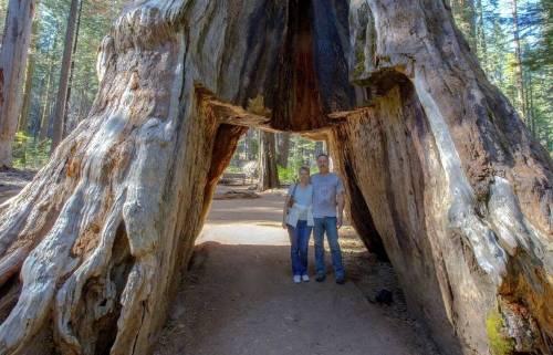 Adiós a la gran secuoya: ¿qué derribó a este árbol histórico?