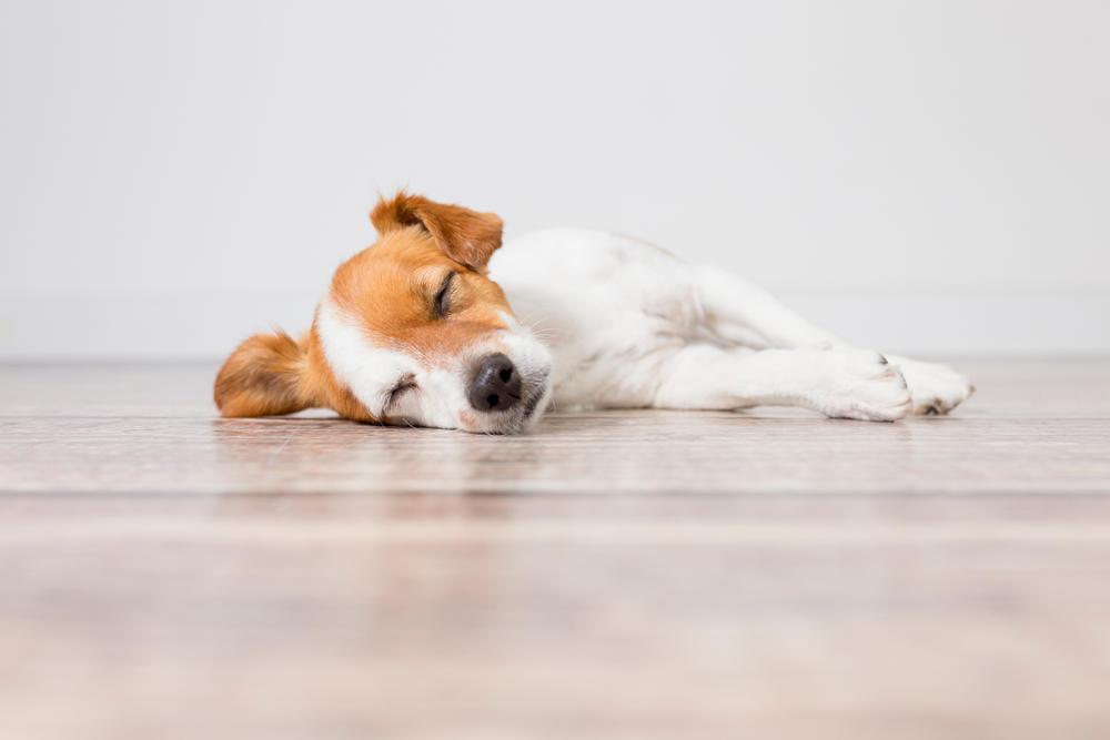 ¿Por qué los perros tienen pesadillas y qué hacer al respecto?