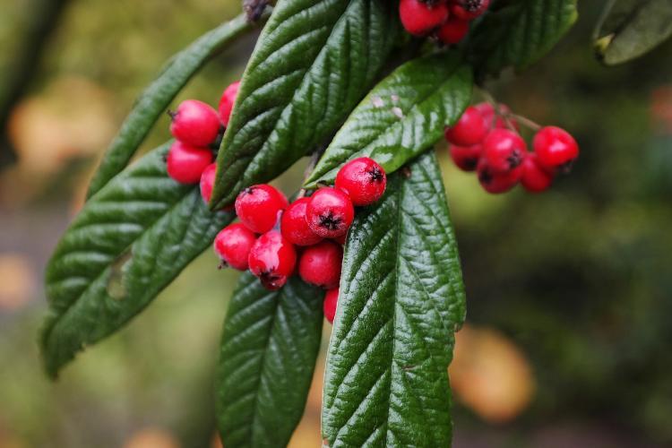 Arbusto cotoneaster