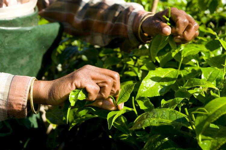 woman-harvesting-tea-leaves-kerela-india