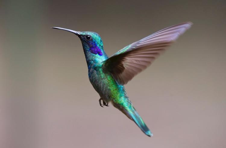 Conoce el secreto de los colibríes para conservar su energía