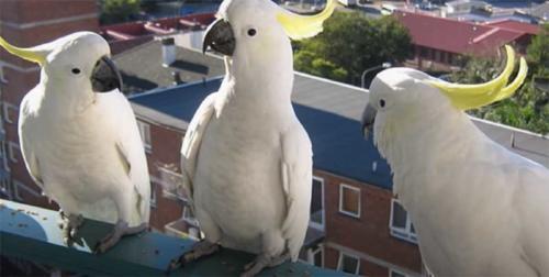 ¡Insólito! El video que muestra la impactante invasión de cacatúas en un barrio de Australia