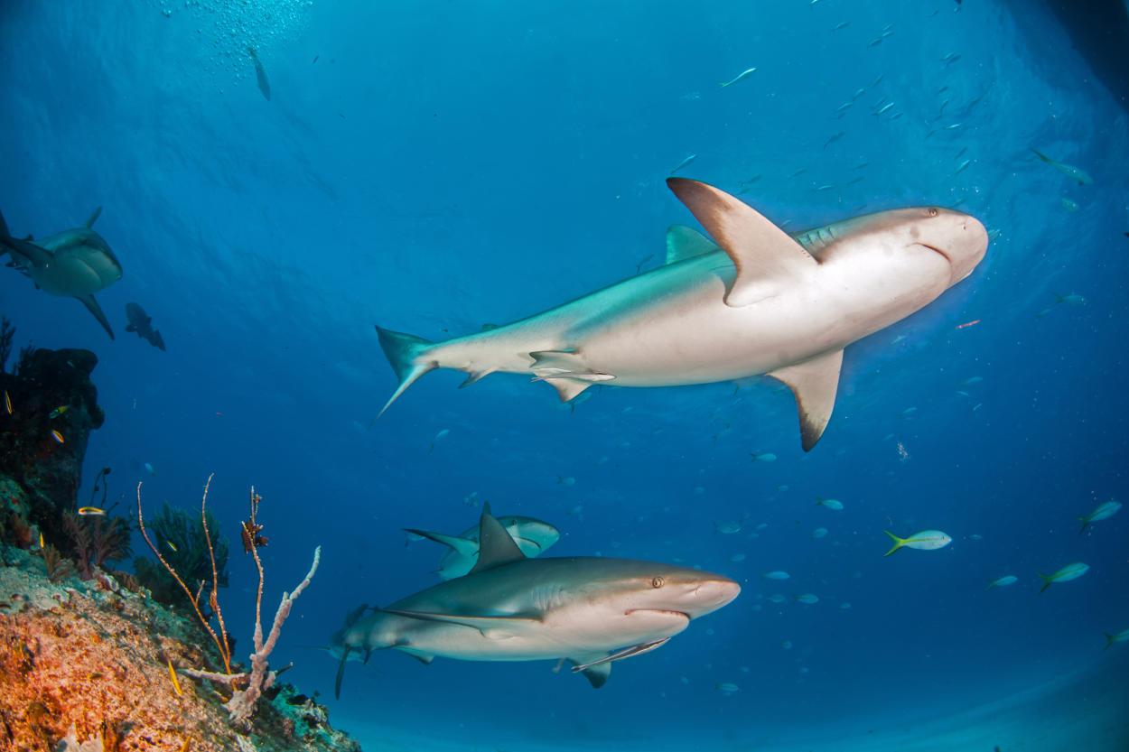 Un nuevo estudio alerta sobre la extinción del tiburón de arrecife de coral