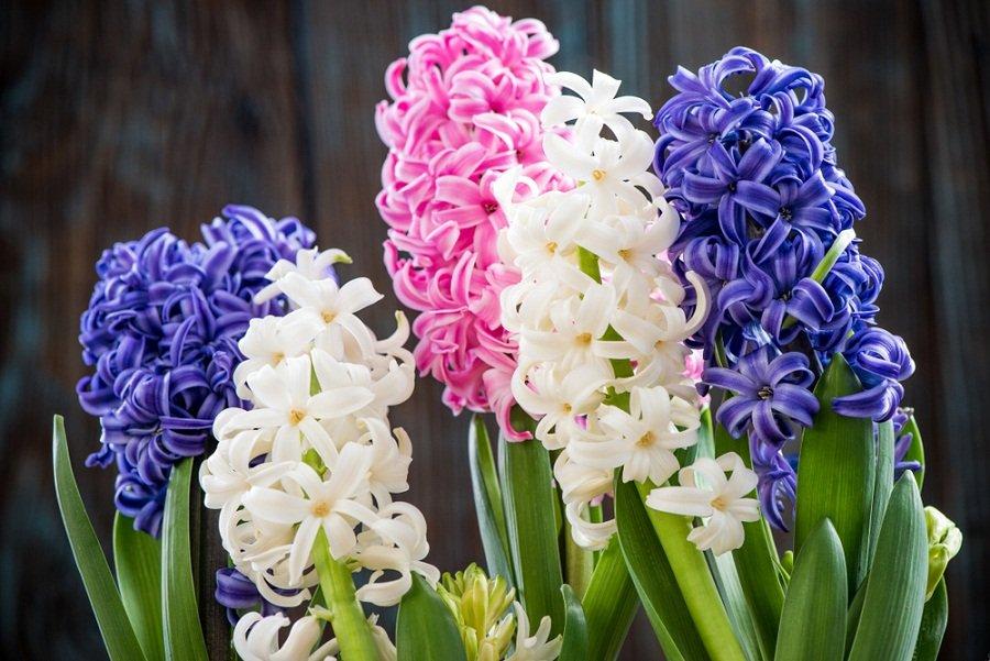 Jacinto: una flor ideal para tener un jardín aromático