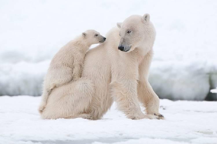 oso polar