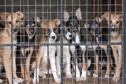Fábricas de perros: cachorros que nacen en condiciones de crueldad animal