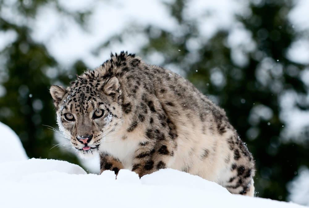 Captan un emotivo video de un leopardo de las nieves con sus cachorros