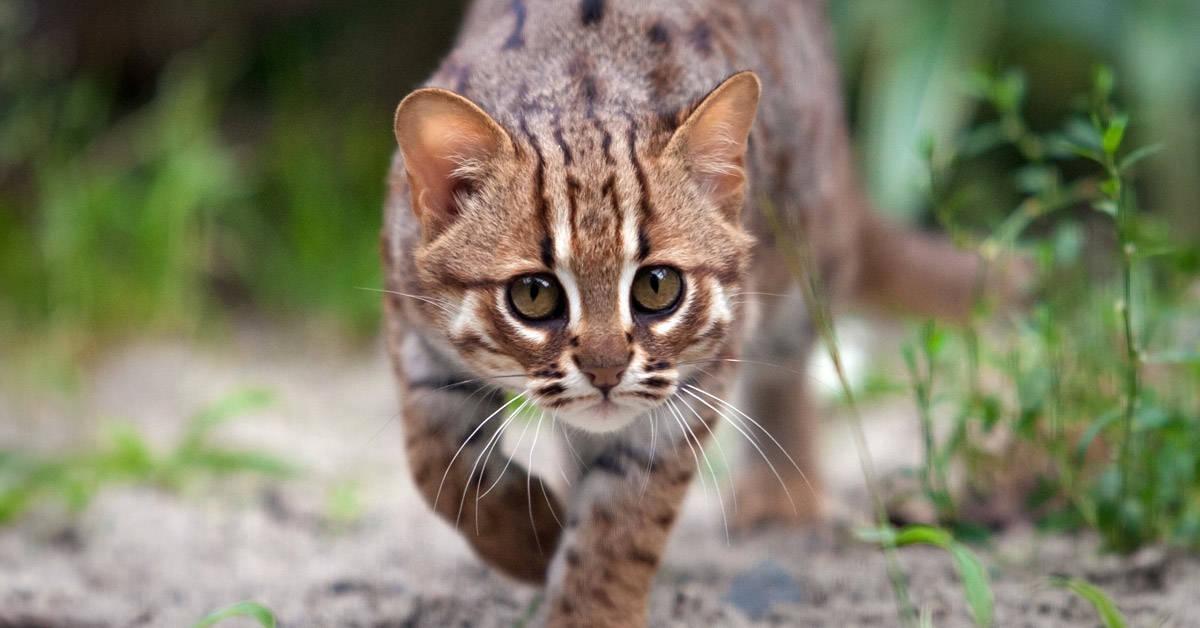 El gato salvaje más pequeño del mundo: una especie en peligro