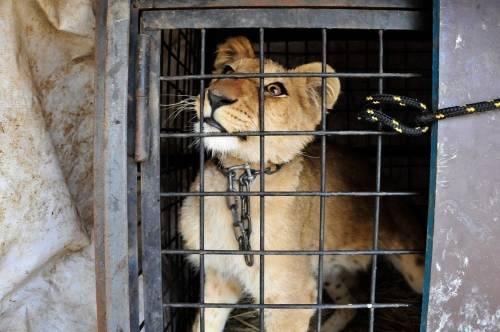 ¿Por qué somos tan crueles? Un zoo filipino condena a una leona a la peor vi..