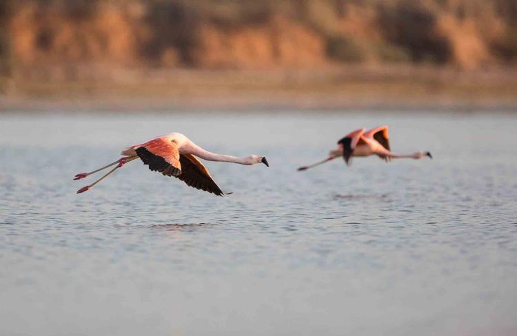 Flamencos volando en Mar Chiquita